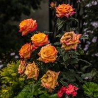 Розы :: Марк Э
