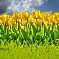 Выставка тюльпанов :: Александр Шевченко