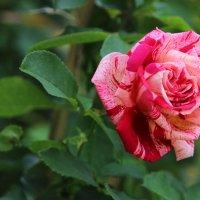 Роза :: Инна Матвеева