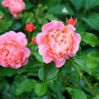 Розовый куст :: Валерия *_*