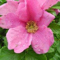 Цветок шиповника в каплях воды :: Александра Мазеева