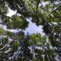Небо в березовой роще :: Александра Мазеева