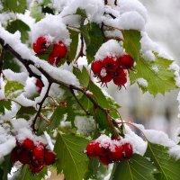 Боярышник в снегу :: Светлана