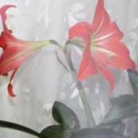Цветок на окне (через стекло). :: Nonna