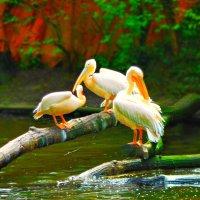 Пеликаны :: Екатерина M
