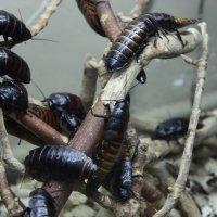 Мадагаскарские тараканы :: Александра Романова