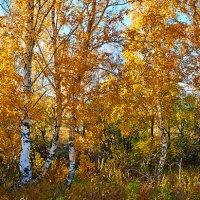 Осеннее золото :: Николай Мальцев