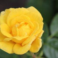 И цветы умеют плакать... :: Инна Матвеева