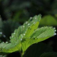Капельки росы :: Инна Матвеева