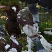 Породистые голуби :: Богдан Петренко