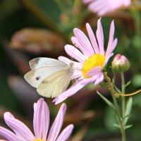 красивая бабочка попалась :: Dasha Kozhalo