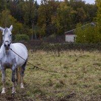 Белая лошадь :: Aleksey Donskov