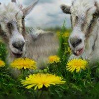Внимание и козе приятно... :: Удивительное Рядом