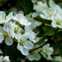 Яблони в цвету. :: Александр Лейкум
