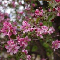 яблоня в цвету :: Равиль Хакимов
