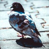 голубь,не кричи!) :: Евгения Изотова