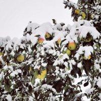 Яблоки под снегом :: Юлия Коноваленко (Останина)