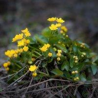 Весенние цветочки ... :: Евгений Хвальчев