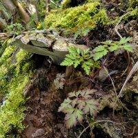 Ганоде́рма (лат. Ganoderma) :: Heinz Thorns
