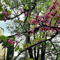 Багрянник или Церцис,или Иудино дерево :: Tata Wolf