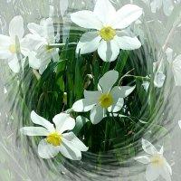 Нарциссы. :: Зоя Чария