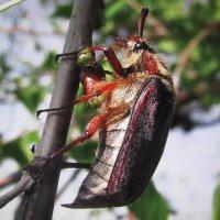 Вот и майские жуки появились :: sm-lydmila Смородинская
