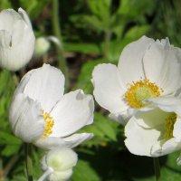 Анемона - цветок из семейства лютиковых :: Татьяна Смоляниченко