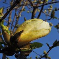 Рождение прекрасных цветов магнолии... :: Тамара Бедай