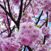 Цветы сакуры ... :: Лариса Корж