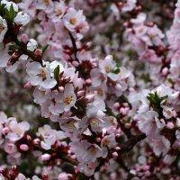 Войлочная вишня в цвету :: Зоя Мишина