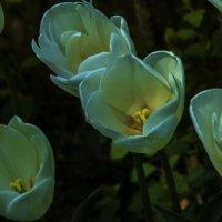 Белые тюльпаны :: Валентин Семчишин