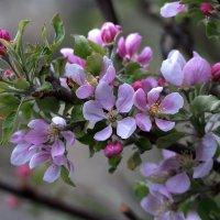 Когда яблони цветут ....! :: Анатолий Святой