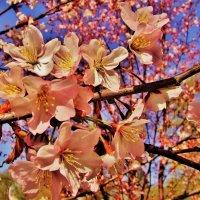 Сакуры нежной пена оживших цветов.. :: Aida10