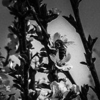 На цветущей вишне :: Елена Елена