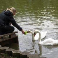Угощение для лебедей :: Ольга Довженко