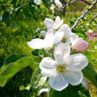 Цветущая яблоня :: Владимир Бровко