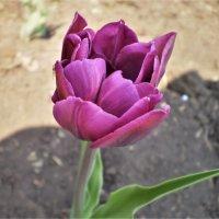 Мой голландский тюльпан. :: Венера Чуйкова