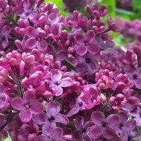 Ты помнишь как цветет сирень? Её лиловый слышен запах,... :: Galina Dzubina