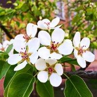 Груша цветет. :: Ирина