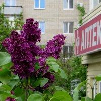 Сирени нежный аромат :: Татьяна Смоляниченко