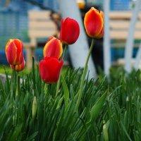 Тюльпаны - цветы нежной юности. :: Юрий Колесников