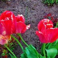 красные тюльпаны :: Владимир