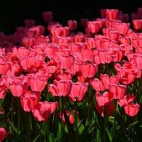 А видел ли  ты фонарики тюльпанные? :: Тамара Бедай