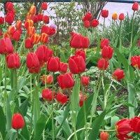 Время тюльпанов :: Galina Solovova