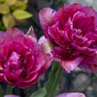 Тюльпаны. :: Николай Сидаш