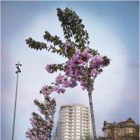 В Николаеве цветёт сакура... :: Сергей Порфирьев