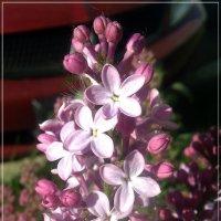 Сирени цветок с пятью лепестками найди майским утром :: muh5257