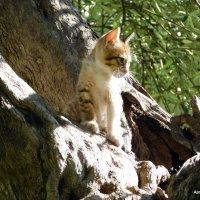 Котёнок на старой оливе. :: Валерьян Запорожченко