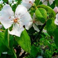 цветок айвы :: Люша