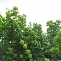 пока зелёные шары,куст,который меня поразил при первой встрече :: Елена Шаламова